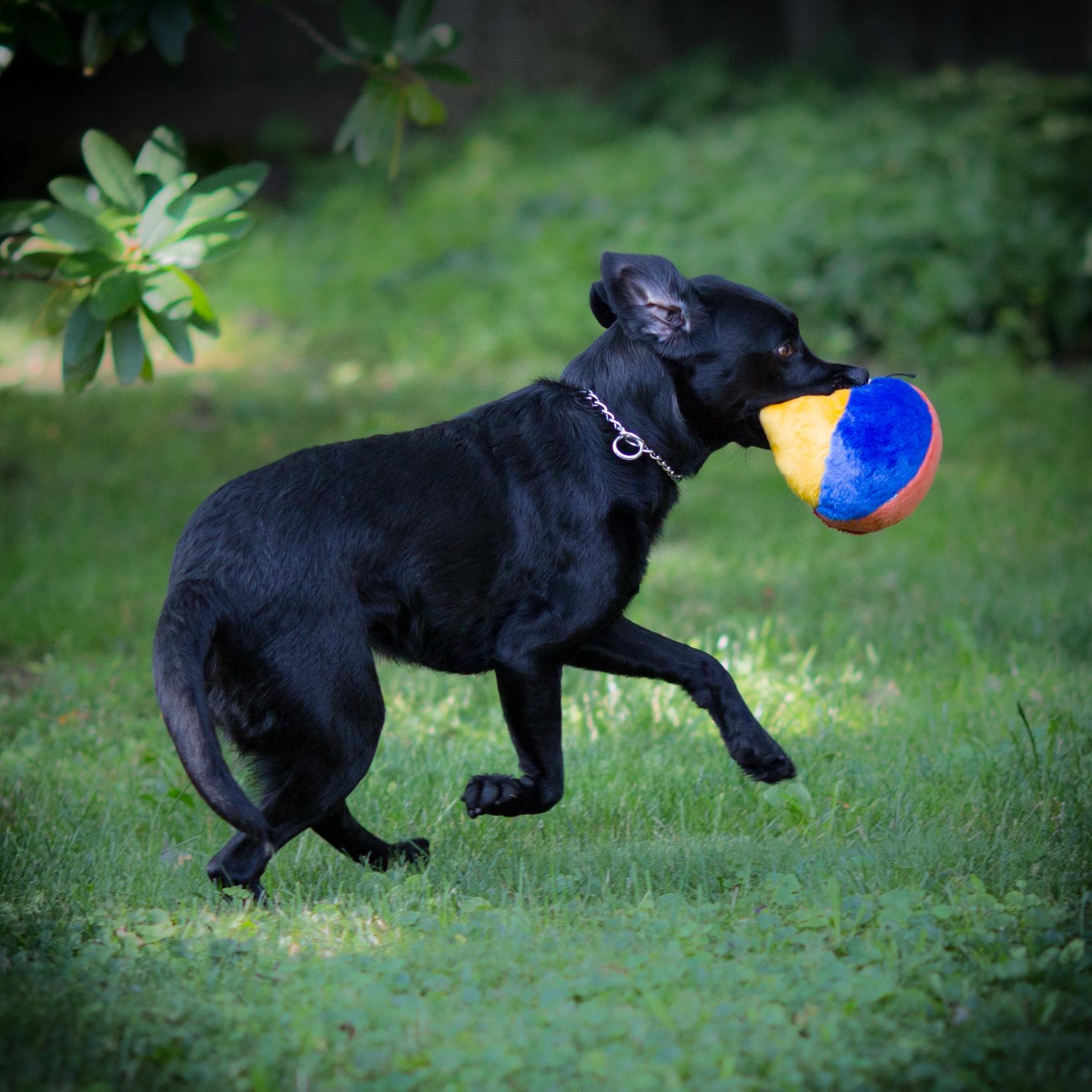 A black Lab chases a colorful plush beach ball